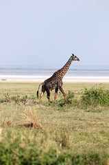 Giraffe - african mammal, the tallest of all land-living animal.