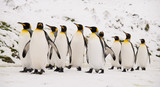 King Penguins marching