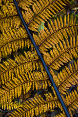 Golden Silver fern