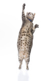 Playful obese tabby cat isolated on white background poster