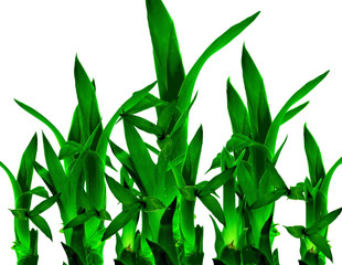 Lucky Bamboo In Isolated White Background
