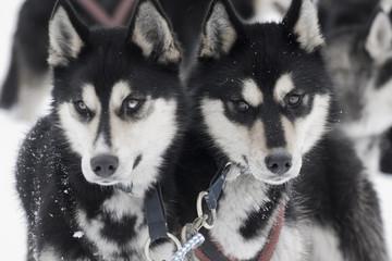 Zwei Huskys