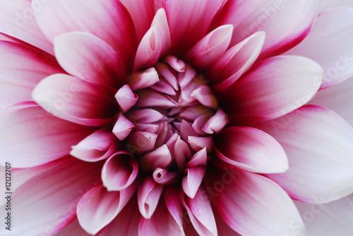 Foto op Canvas Dahlia Pink White Dahlia Flower