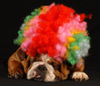 bulldog dressed up as a clown on black background