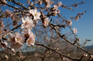 Almond tree - Branch with flowers