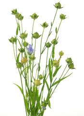 Lein-Strauss mit Blüte und Samen/lin-seed with flower