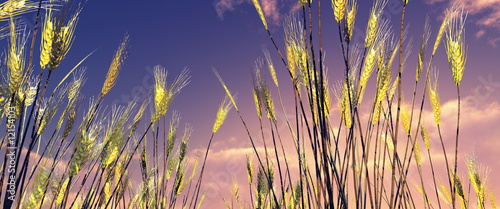 canvas print picture Beautiful wheat field