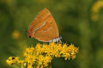 Thecla betulae, Nierenfleck, Birken-Zipfelfalter, Weibchen