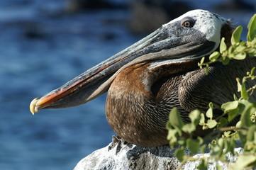Galapagos-Braunpelikan