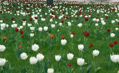Wiese, Tulpen