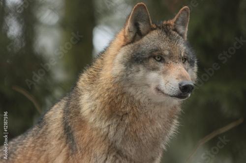 Fototapeta drzew - zwierzę - Dziki Ssak