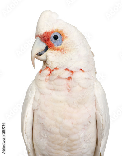 Long-billed Corella - Cacatua tenuirostris - 12189796