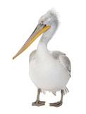 Dalmatian Pelican - Pelecanus crispus(18 months) poster