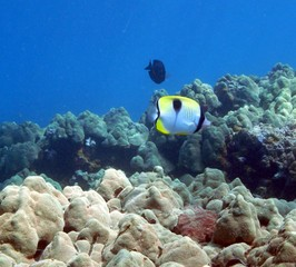 Teardrop Butterfly Fish