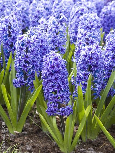hyacint_delfts blaw