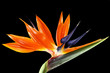 bird of paradise/crane flower