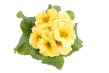 Żółte prymulki, żółte pierwiosnki