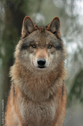 Papiers peints Loup Wolf