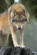 Fototapeta Drzewa - Zwierzę - Dziki Ssak
