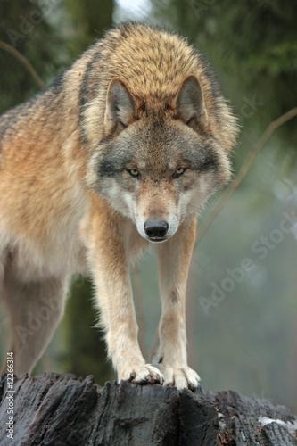 In de dag Wolf Wolf