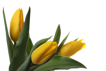 Yellow tulips.