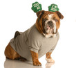 st. patricks day - bulldog wearing kiss me im irish band