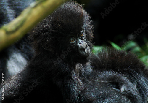 Young and cute gorilla