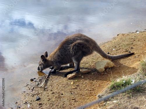 Foto op Plexiglas Kangoeroe kangaroo drinking