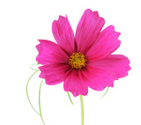 Cosmos Sonata Flowers poster