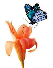 "Постер, картина, фотообои ""Day lily and blue butterfly"""