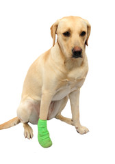 Sad labrador with bandaged paw