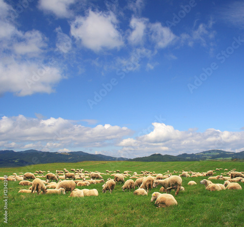 A Summer landscape with herd sheeps in Poland