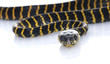 Jungle Carpet Snake