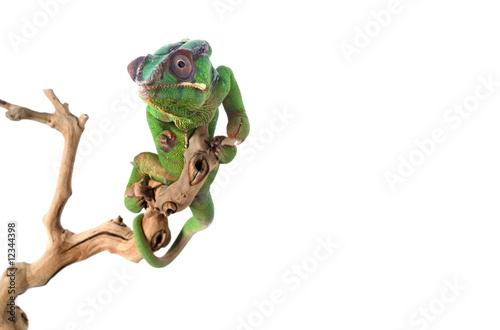 Foto op Plexiglas Kameleon Panther Chameleon