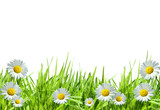 Grass with white daisies against a white - Fine Art prints
