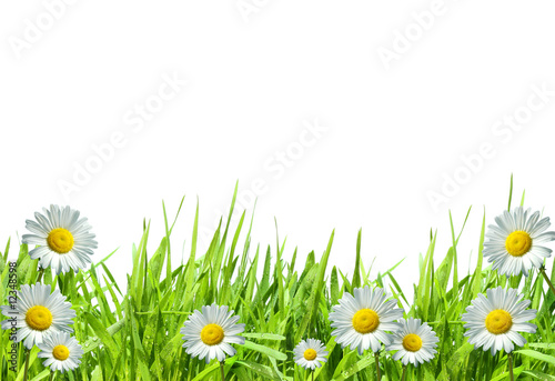 Grass with white daisies against a white
