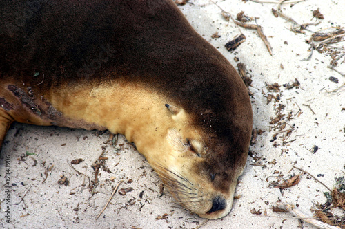 Brown Australian sea lion (Neophoca cinerea) asleep on a beach