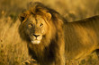 Beautiful African Lion in early morning light