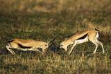 Gazelle Fight