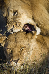 Wild African Lions mating