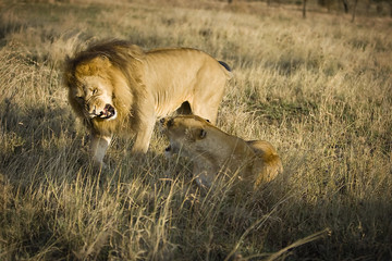 angry lions fighting