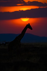 Giraffe in front of African sunset