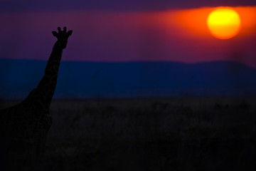 Giraffe sunset in Africa