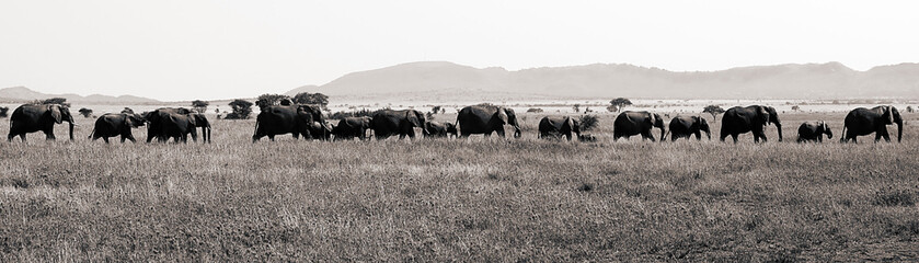 Large Elephant Herd Travelling across Tanzania