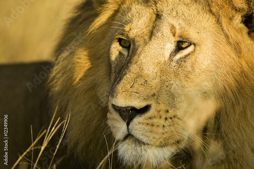 Handsome Male Lion in Africa