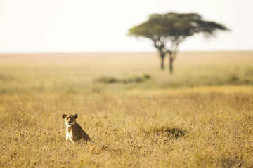 Lioness sitting in an African Savanna