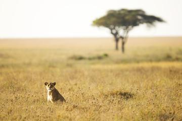 Lioness sitting in an African Savanna