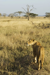 Lion looking over African Savannah