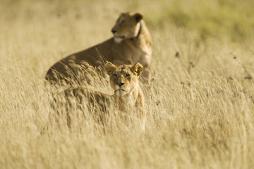 Two lions hunting in Africa
