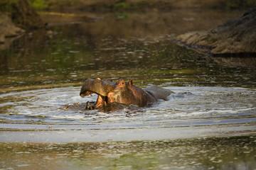 Wild, aggressive, angry hippopotamus